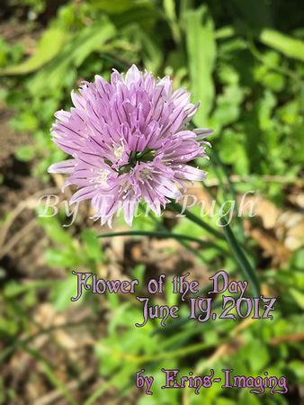 Flower of the day Chive